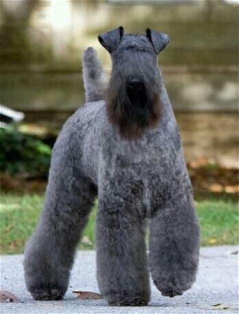 images  kerry blue terriers  pinterest