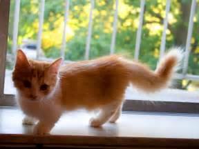 munchkin cats for make it easy munchkin cats