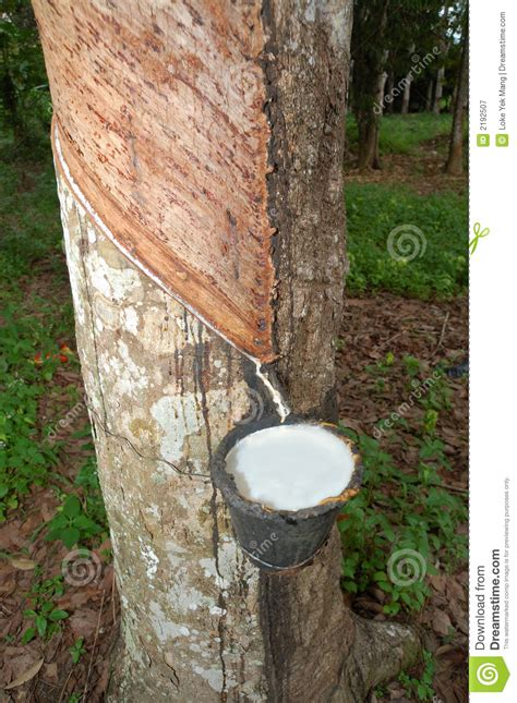 rubber raw material stock image image  plants fresh