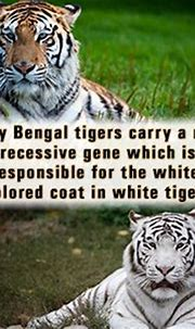 The 25+ best White tiger facts ideas on Pinterest | Fun ...