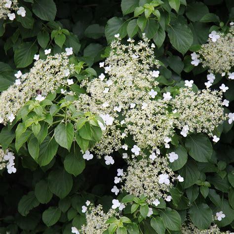 Buy Climbing Hydrangea Hydrangea Anomala Subsp Petiolaris