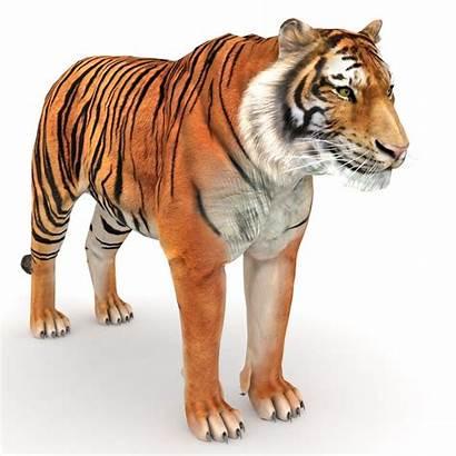 Tiger 3d Turbosquid Models