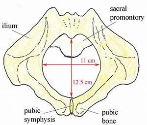 Antenatal Care Module  6  Anatomy Of The Female Pelvis And