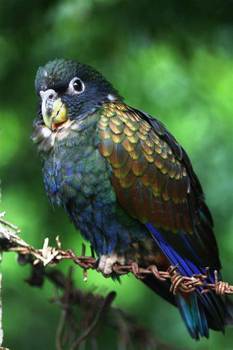 loro alibronceado pionus chalcopterus aves exoticas