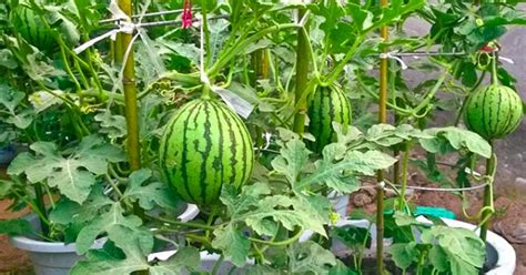 Stop Buying Watermelons Expert Gardener Shares How To