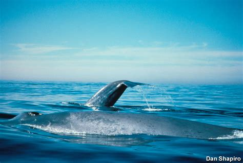 what color are whales cordell bank nms blue whale
