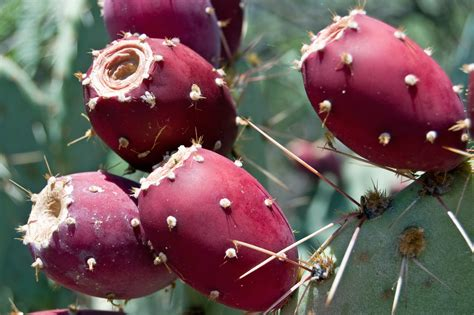 cactus fruit prickly pear cactus fruit flickr photo sharing