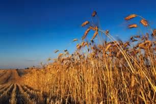 Canada Wheat Farm