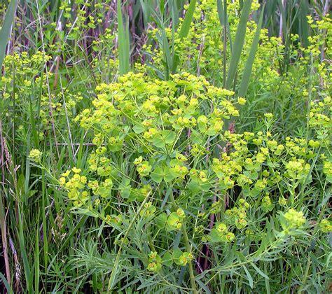 euphorbia species images euphorbia esula leafy spurge go botany