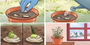 Racine De Gingembre : planter gingembre amazing main dessin gingembre plante ~ Melissatoandfro.com Idées de Décoration