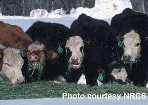 Winter Tetany in Beef Cattle - Hay/Grass - News | Agweb.com