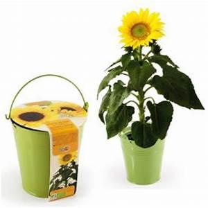 Sonnenblume Im Topf : sonnenblume im zink topf ~ Orissabook.com Haus und Dekorationen