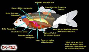 Koi Fish Skeleton Anatomy Diagram  Koi Fish External Anatomy Diagram