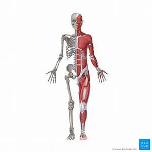 Musculoskeletal System  Anatomy And Functions