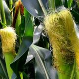 Чистка печени кукурузными рыльцами