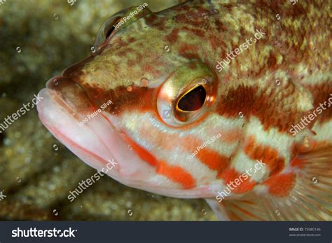 cabrilla grouper serranus sesimbra portugal shutterstock