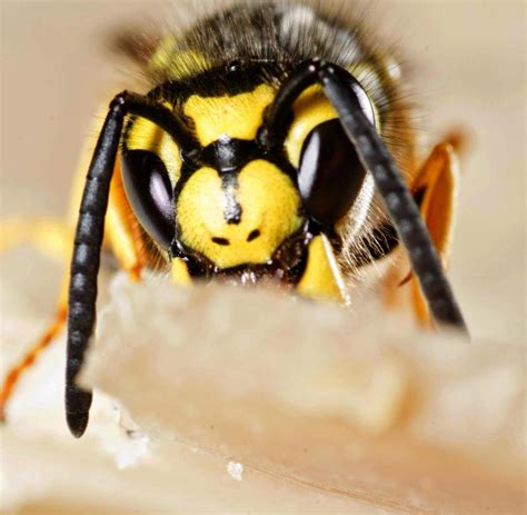 Nelkenöl Gegen Wespen by Wespen Was Gegen Diese Insekten Alles Tun Muss Welt