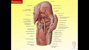 Magdy Said Anatomy Series Lower Limb Muscles Of Gluteal