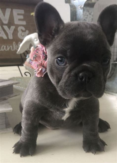 blue french bulldog puppies  sale   french