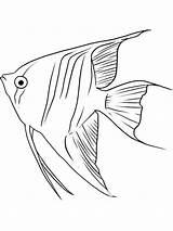 Coloring Angelfish Fish Printable Drawing Angel Perch Drawings Line Template Colorear Dibujos Angelote Pencil Colors Imprimir Gratis Youngandtae sketch template