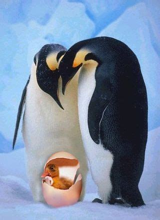 penguins  duck egg funny pictures entertainment