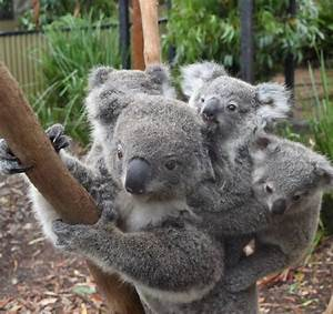 Double trouble: koala mum takes on twins | photos, video ...