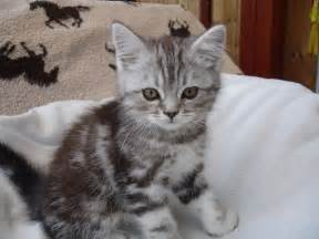 cat sales absolutely gorgeous x kittens for crewe