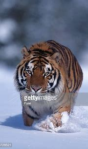 Bengal Tiger Walking In Snow Stock Photo | Getty Images