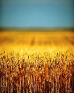 Golden Wheat Fields in Montana