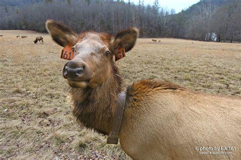 elk mountains smoky self portrait taking wildlife