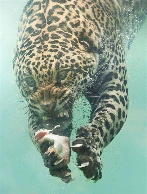 leopard underwater lions  tigers   animals
