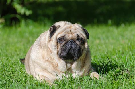 fat pug dog stock photo image  overweight grass friend