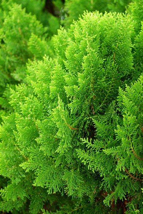 leaves of pine tree or oriental arborvitae scientific