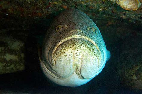 grouper goliath specialty treasure