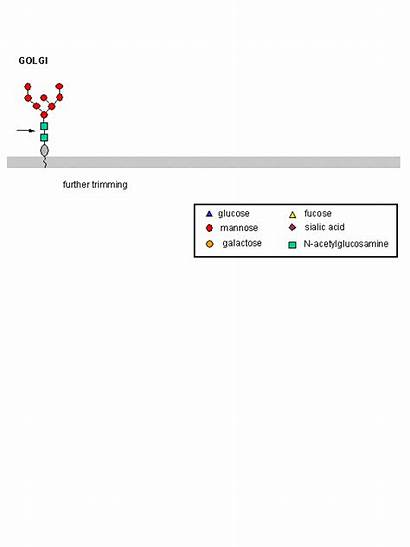 Biosynthesis Glycoprotein Golgi Endoplasmic Reticulum D1 Animations