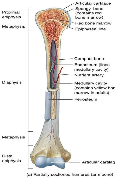 Basic Bone Diagram by Basic Bone Terminology Mcat Bio Anatomy Bones