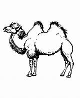Camel Coloring Pages Printable Hump Drawing Wild Animals Sheet Humps Adults Animal Different Coloringpages101 Getdrawings Honkingdonkey sketch template