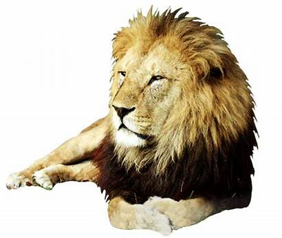 Lion Clipart Male Clip Realistic Angry Background