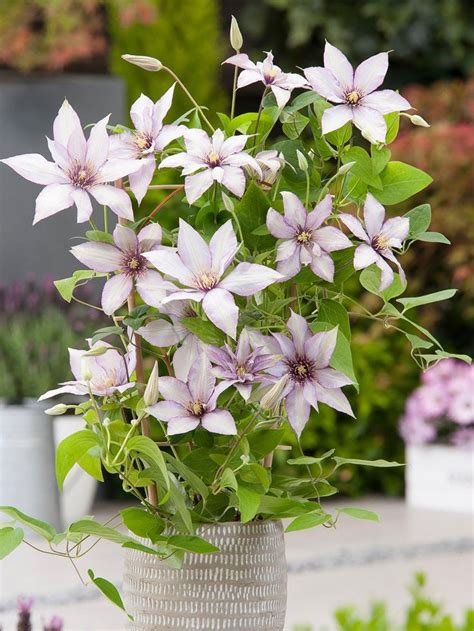 Boulevard Patio Clematis Collection - 3 Colours in 10.5cm ...