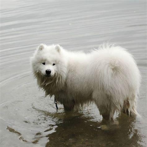 Best 25 Samoyed Puppies Ideas On Pinterest Samoyed Dogs