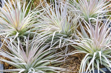 How To Care For Tillandsia Air Plants