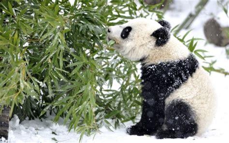 baby panda bears animals background wallpapers