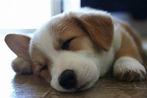 Sweet dreams Corgi puppy! | taildom