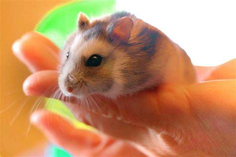 Kāmītis: kas jāzina par šī mājdzīvnieka turēšanu?