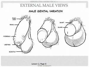 Photos: Image Of External Reproductive System For Male ...