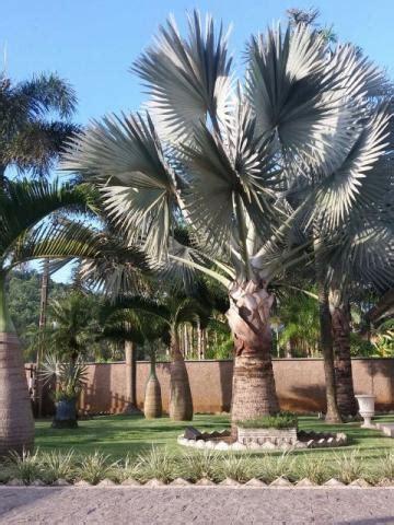 palmeira azul bismarckia nobilis 🥇 【 OFERTAS 】 | Vazlon Brasil