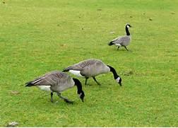 Western Canada Goose | John Rakestraw