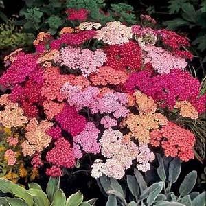 Winterharte Blumen Die Lange Bluhen Chrysanthemen Pflege