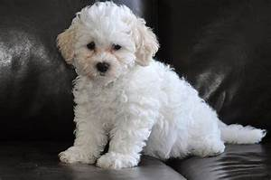Little White Puppy Photograph by Lisa DiFruscio