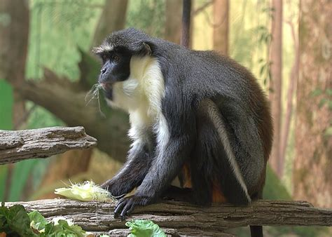 Diana Monkey Wikipedia